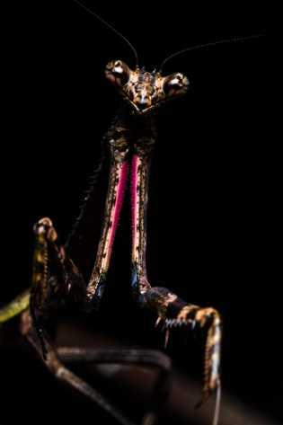 """Lanna chama essa louva-a-deus Pseudovates de """"verdadeira estrela do rock"""", destacando a cor escura dessa fêmea, ..."""
