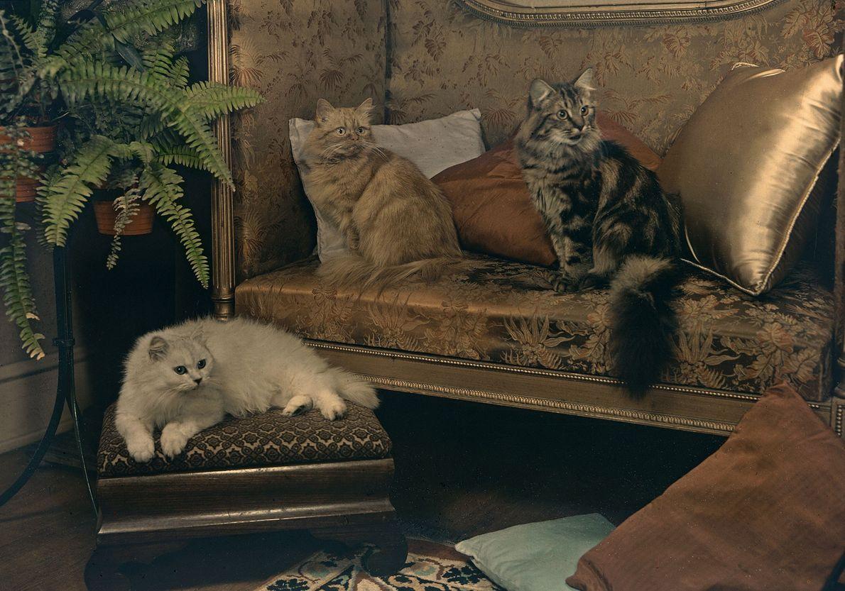 """Três gatos persas — que Eddy descreveu como """"extraordinariamente afetuosos"""" — repousam sobre os móveis, em ..."""