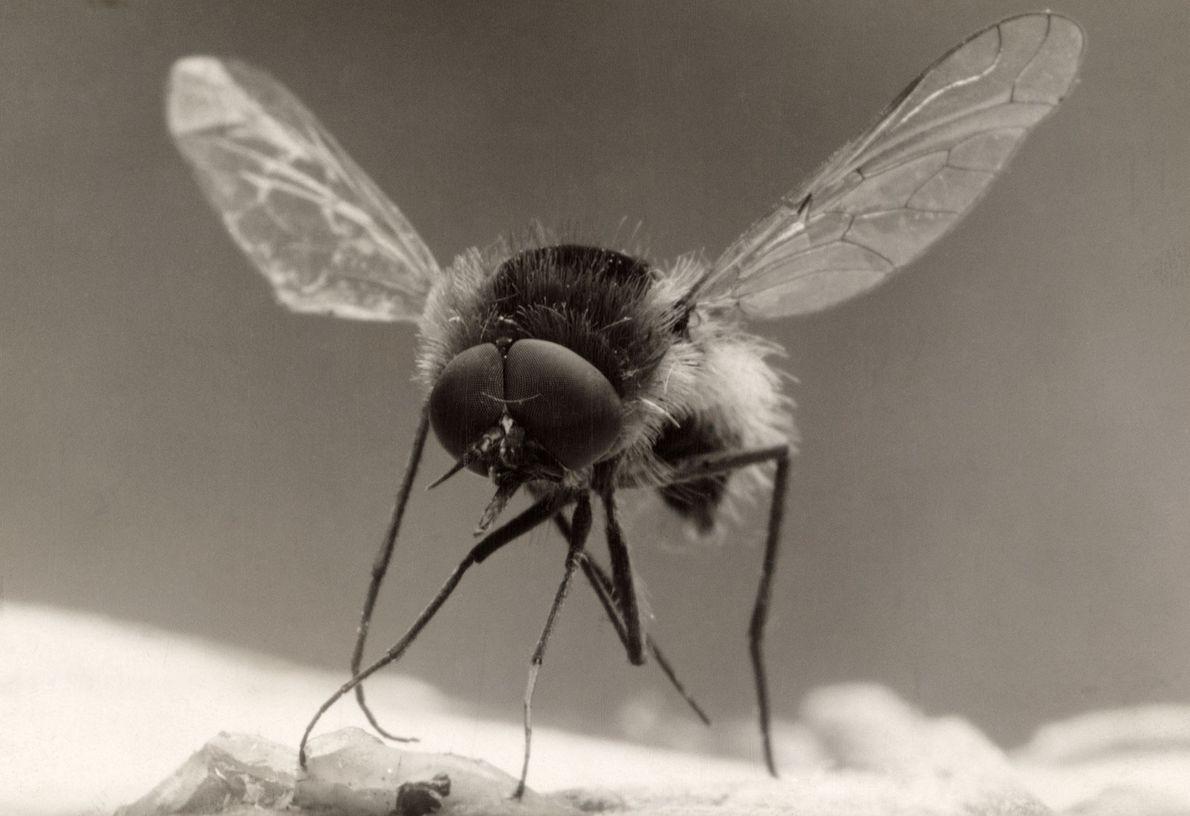 Muito presente na Europa, América do Norte e Ásia, a mosca-abelha é uma mosca que se ...