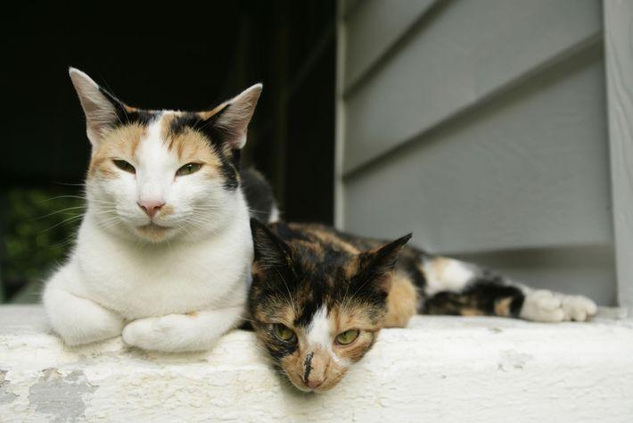 leoes-bolas-de-pelo-grandes-felinos-gatos
