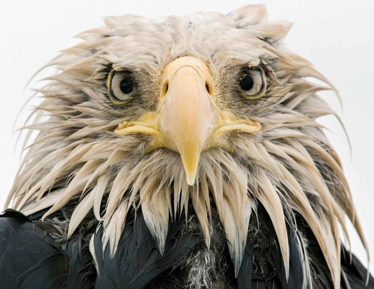 Days of heavy rain, a common phenomenon in the Aleutian Islands, have drenched this bald eagle. ...