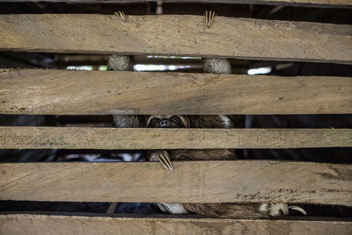 preguiça em cativeiro