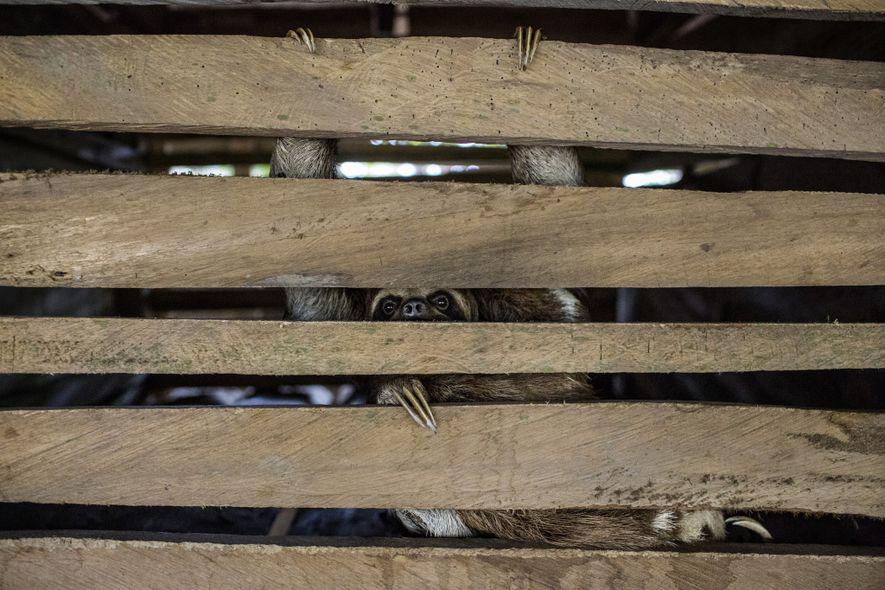 Uma preguiça olha para fora de sua jaula escura, encontrada sob uma casa em Puerto Alegría. ...
