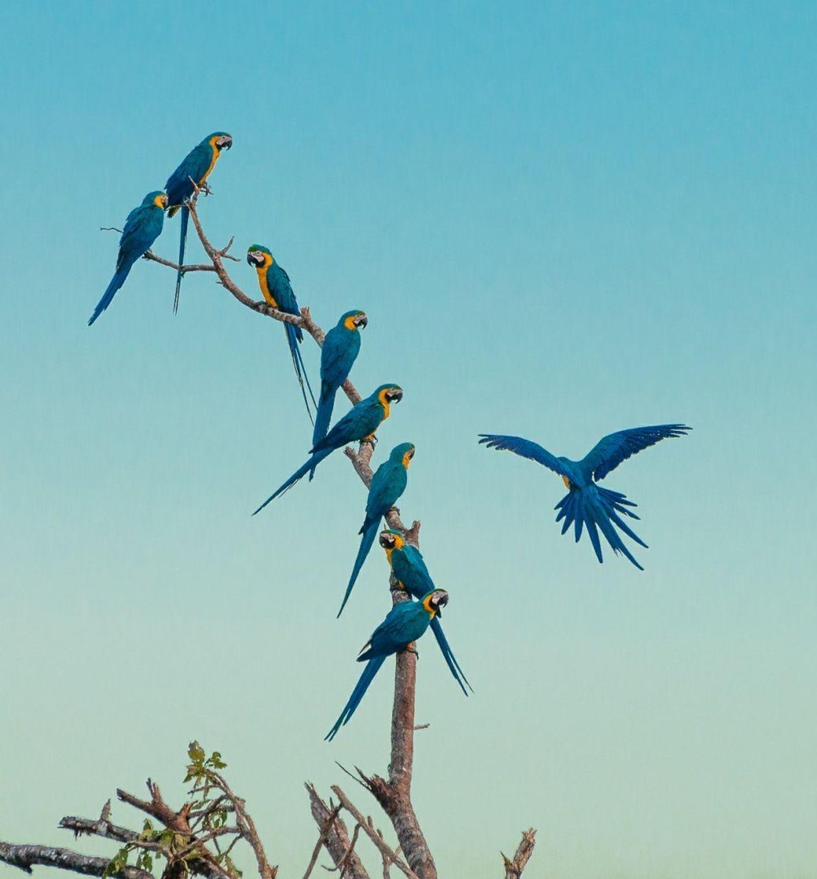 Araras em Crixás do Tocantins.