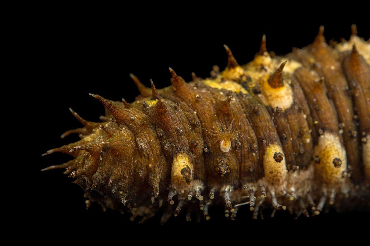 Pepino-do-mar (Holothuroidea)