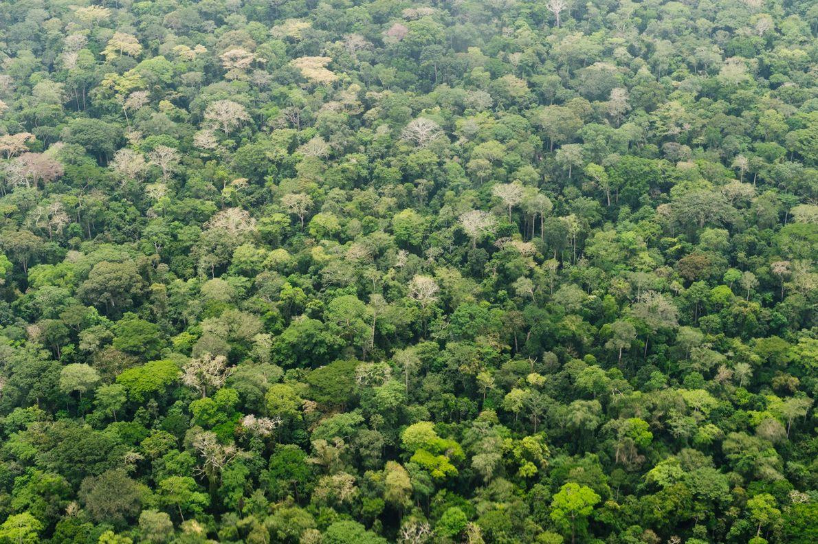 A floresta tropical cobre o Parque Nacional de Dzanga, na República Centro-Africana. As florestas tropicais absorvem …