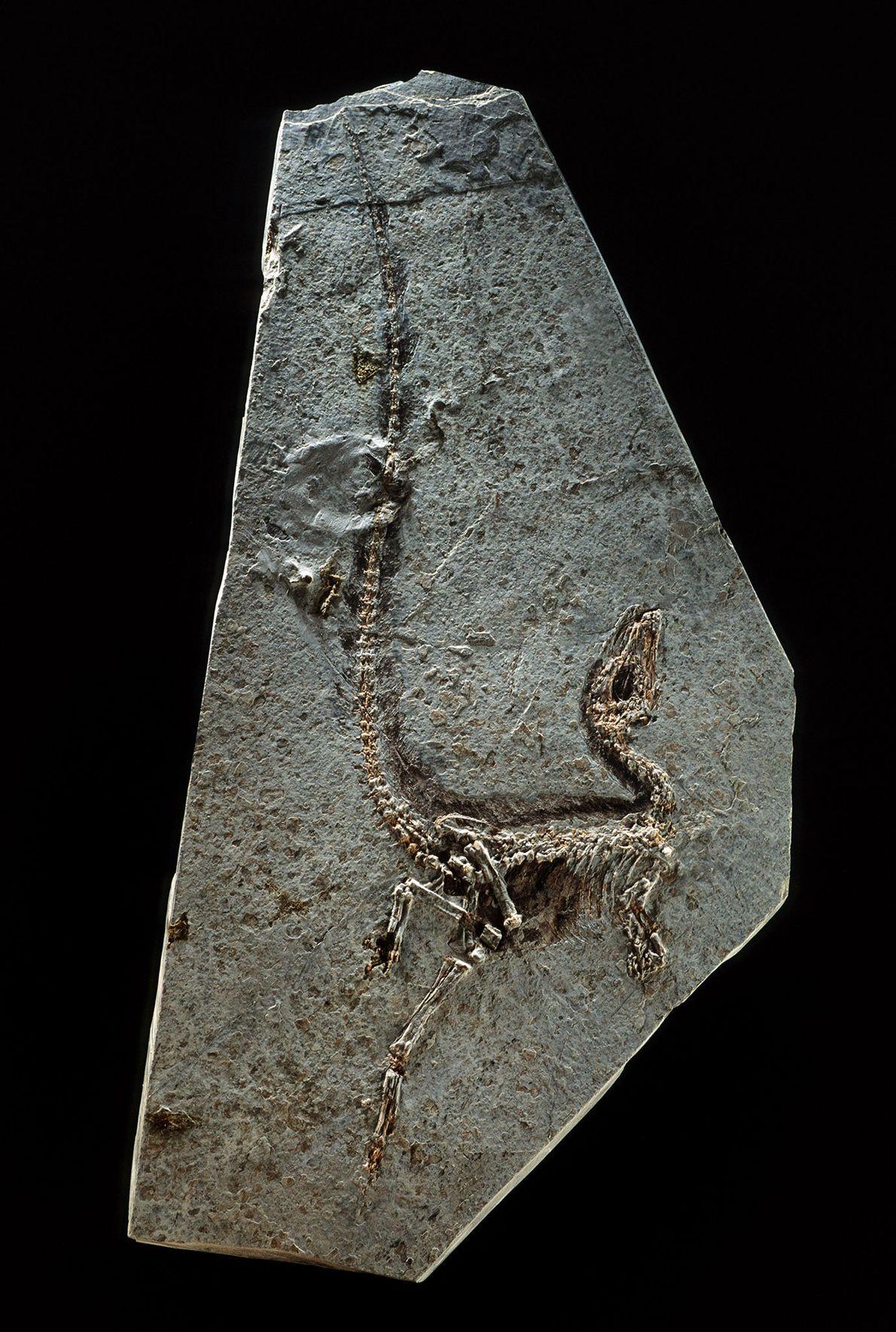 O Sinosauropteryx prima, da província de Liaoning, nordeste da China, foi encontrado em 1996 e é ...