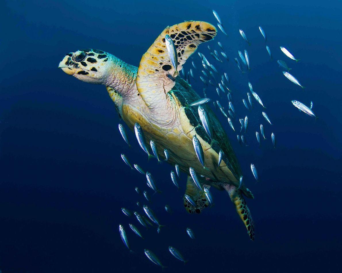 tartaruga-de-peixe