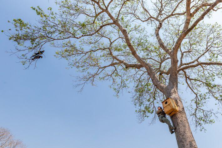Do alto de um jatobá de 10 m de altura, a bióloga Neiva Guedes interage com ...