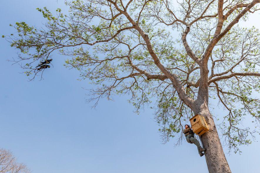 Do alto de um jatobá de 10 m de altura, a bióloga Neiva Guedes interage com um casal de araras-azuis que a observa em frente à caixa onde está o filhote. O uso de técnicas verticais é essencial para a coleta de dados da equipe do Instituto Arara-azul.