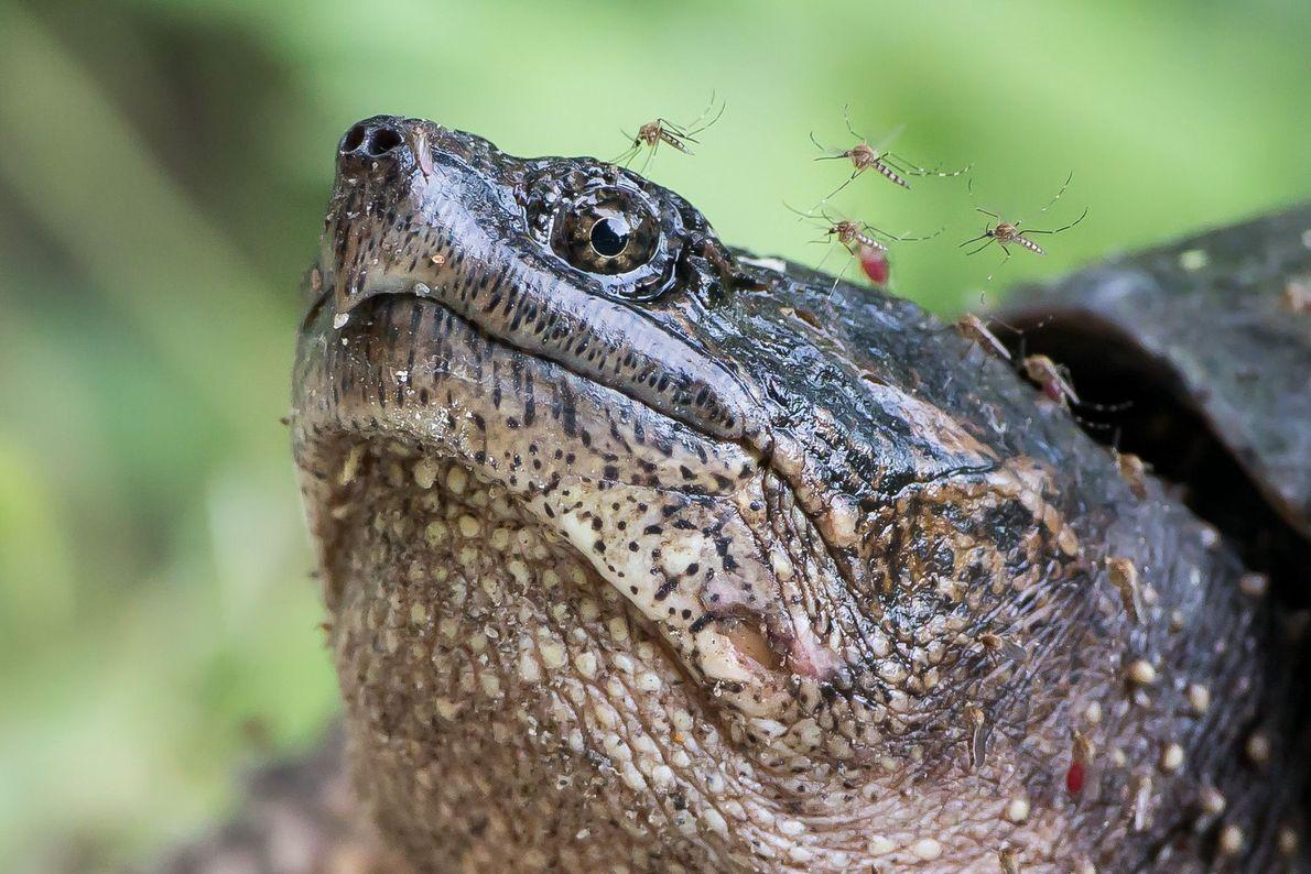 galeria-de-fotos-animais-em-acao-tartaruga-mosquitos