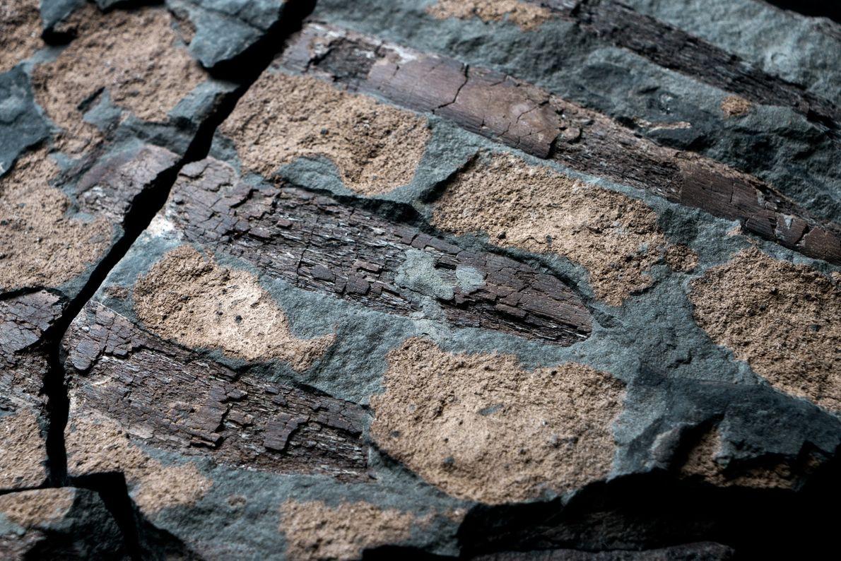 nodossauro-nova-especie-de-dinossauro-fossil-incrivel-03