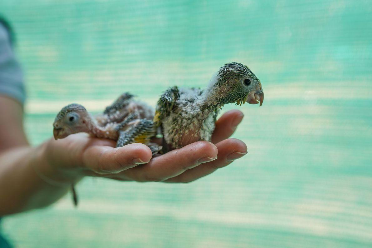 Bebês periquitos recebem tratamento no centro de resgate em Aguas Calientes. Eles foram resgatados por membros ...