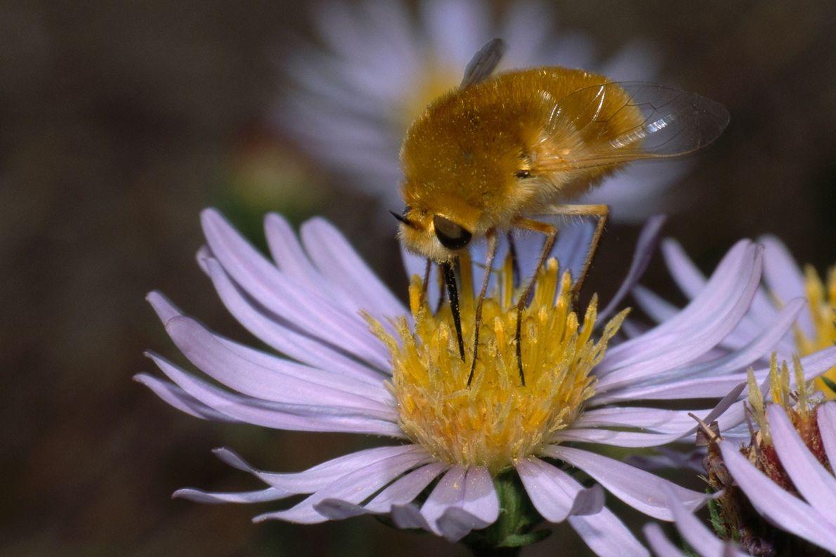 """Mosca-abelha: """"Ninguém se mete com a mamangava"""", conta Katy Prudic, entomologista da Universidade do Arizona. É ..."""