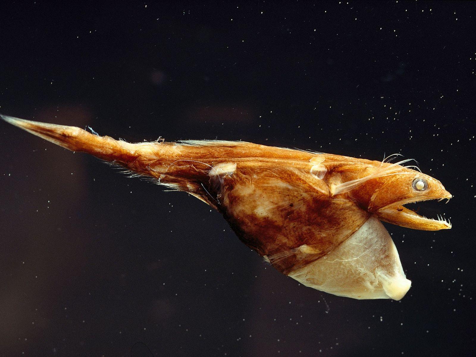 O engolidor-negro devora refeições gigantescas porque os alimentos são escassos no fundo do oceano.