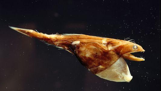 Peixe de águas profundas usa estômago expansível como 'sacola de compras'