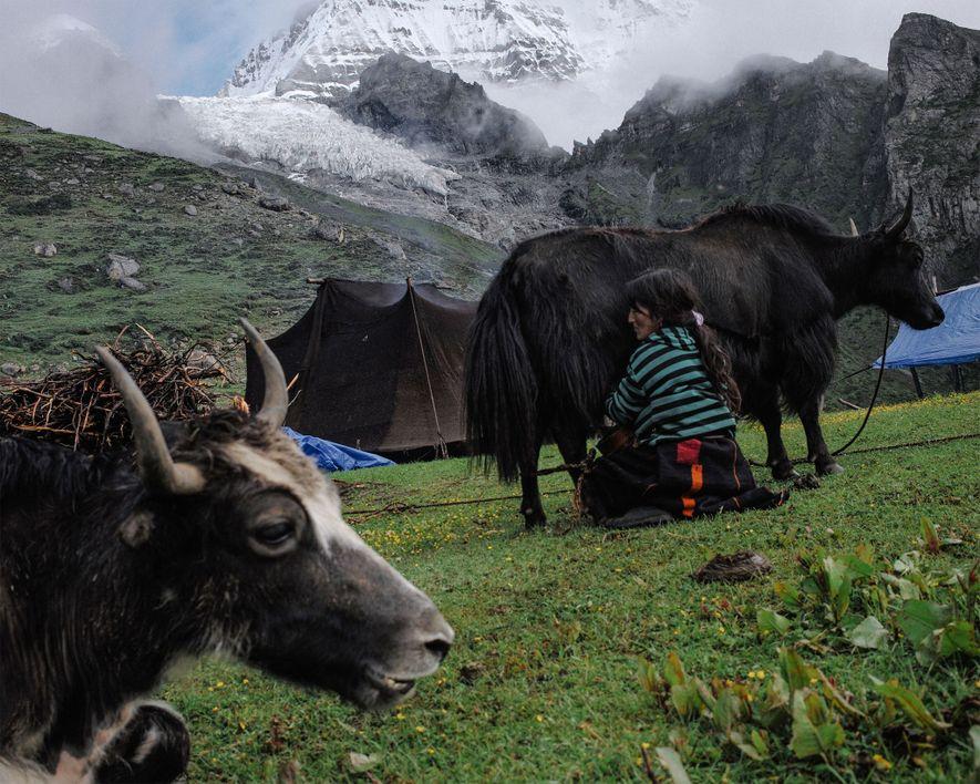 Tshering Om, de 43 anos, ordenha um iaque no acampamento de verão da família.A geleira Masangang ...