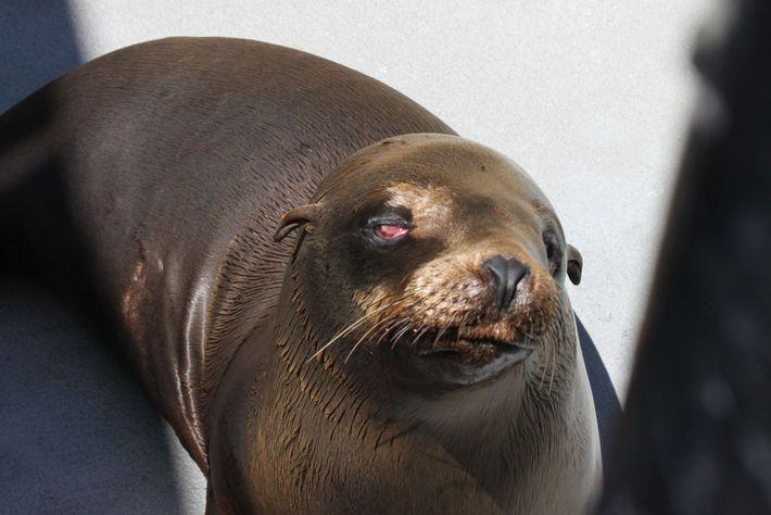 Esta foto de Cruz, um leão-marinho macho jovem, foi tirada logo depois que ele foi resgatado ...