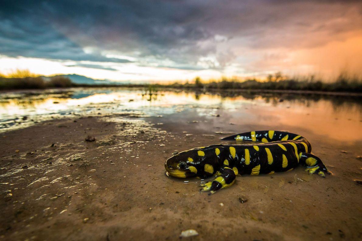 Salamandra-tigre. Willcox, Arizona, Estados Unidos