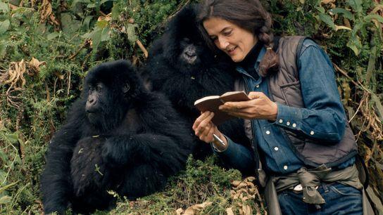 Fossey manteve anotações minuciosas sobre cada gorila em relação à saúde, aos relacionamentos e às atividades. ...