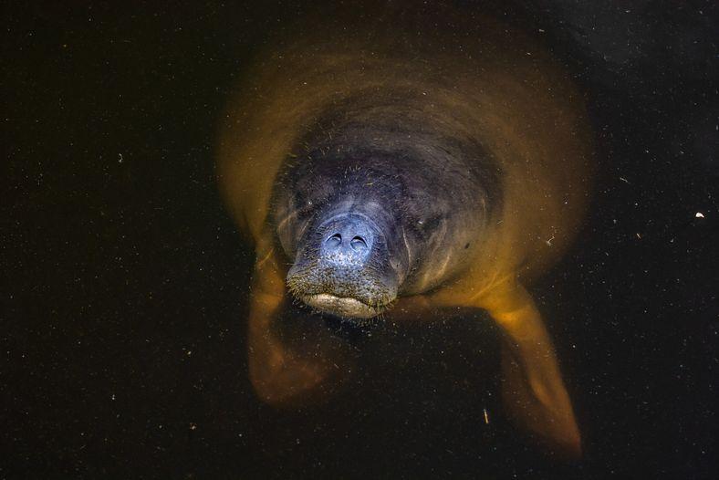 Outro mamífero nas águas da bacia é o peixe-boi-da-amazônia (Trichechus inunguis), que se alimenta das abundantes ...