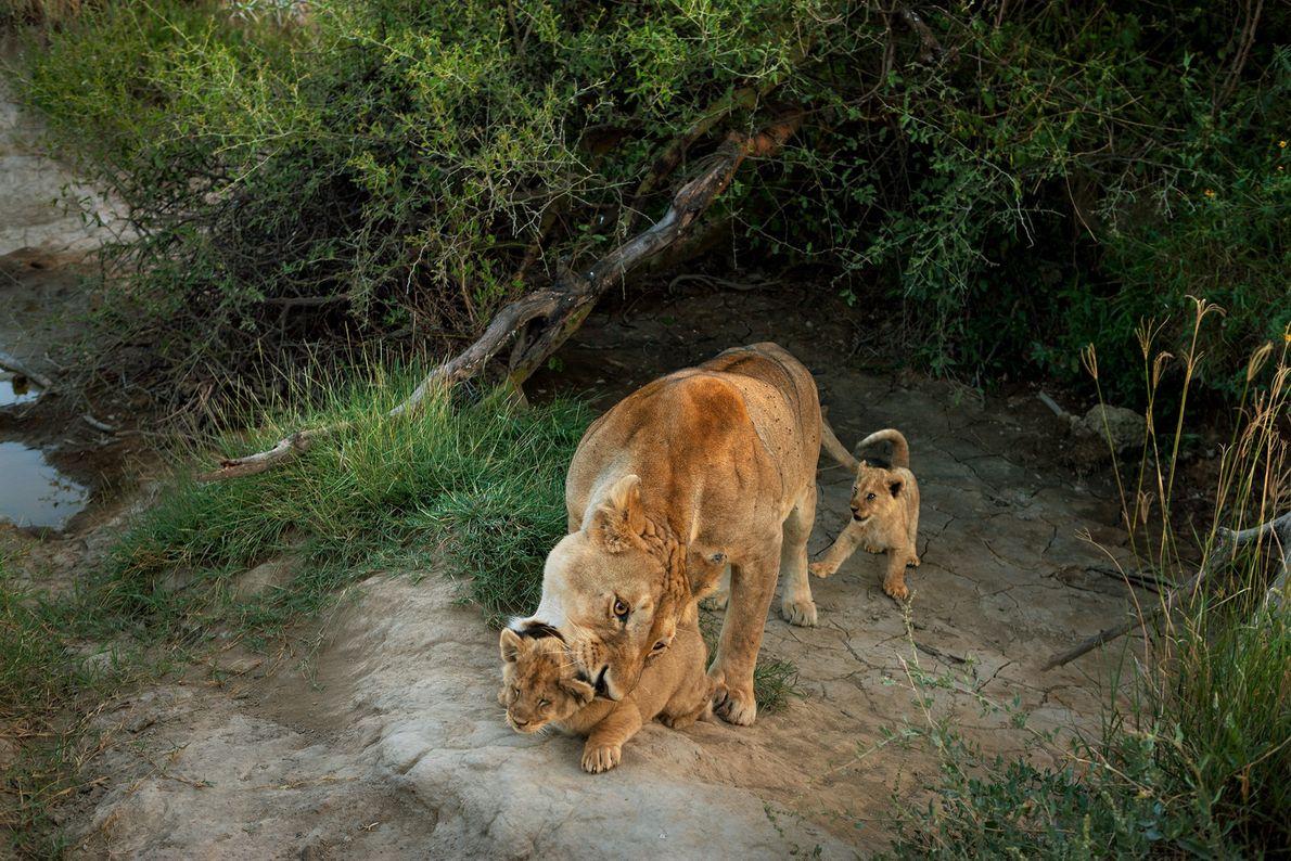 Uma leoa do bando Barafu no Parque Nacional Serengeti com seus filhotes.