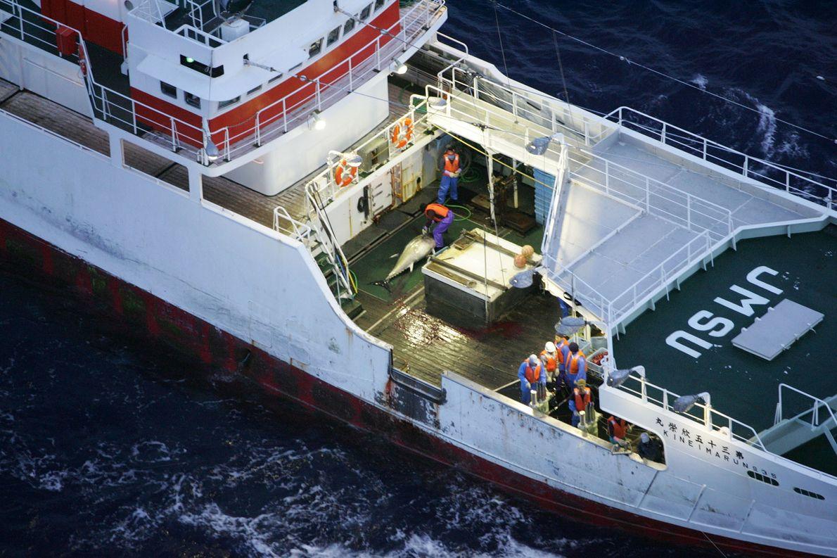 Uma operação do Greenpeace destinada a salvar atuns-rabilho, uma espécie migratória em alto-mar.