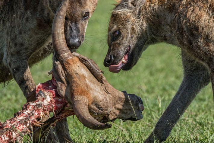 Hienas-malhadas alimentam-se de restos de uma vaca no Quênia. Os animais são habilidosos predadores e podem ...