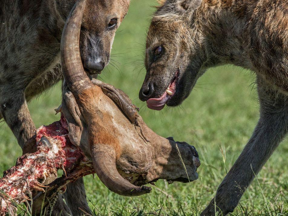 Hienas têm má reputação, mas são os predadores mais bem-sucedidos da África