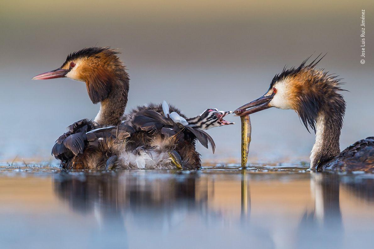 Jose Luis Ruiz Jiménez capturou esta imagem de uma família de mergulhões-de-crista em uma lagoa no ...