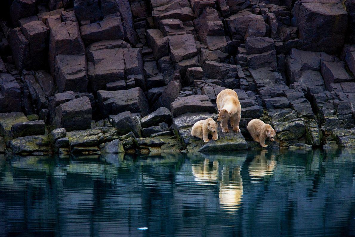 Uma ursa-polar e seus filhotes sobre uma costa rochosa em Svalbard. Os ursos-polares dependem do gelo ...