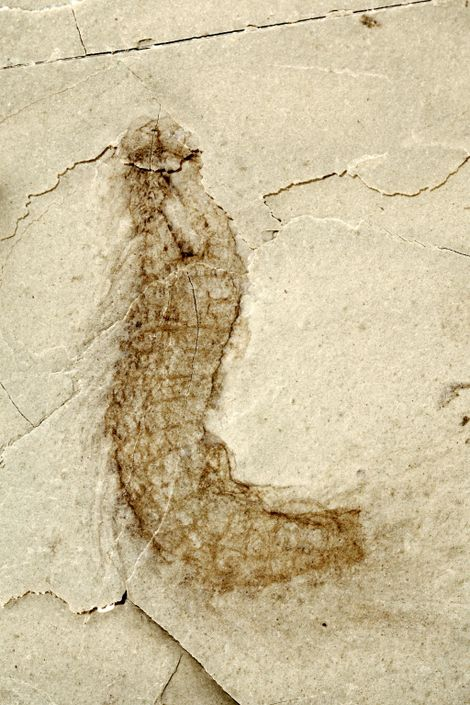 Essa criatura pode estar relacionada aos membros do filo Kinorhyncha de hoje, minúsculos invertebrados marinhos também ...