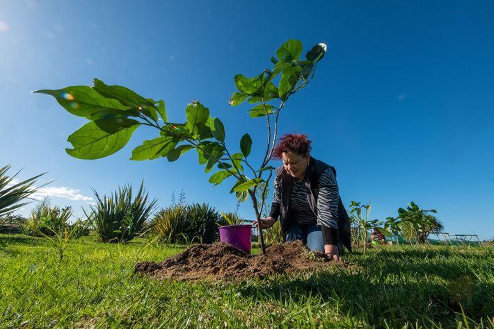 Sheridan Waitai rega uma muda de kaikōmako, uma das 80 plantadas por ela e por outros ...