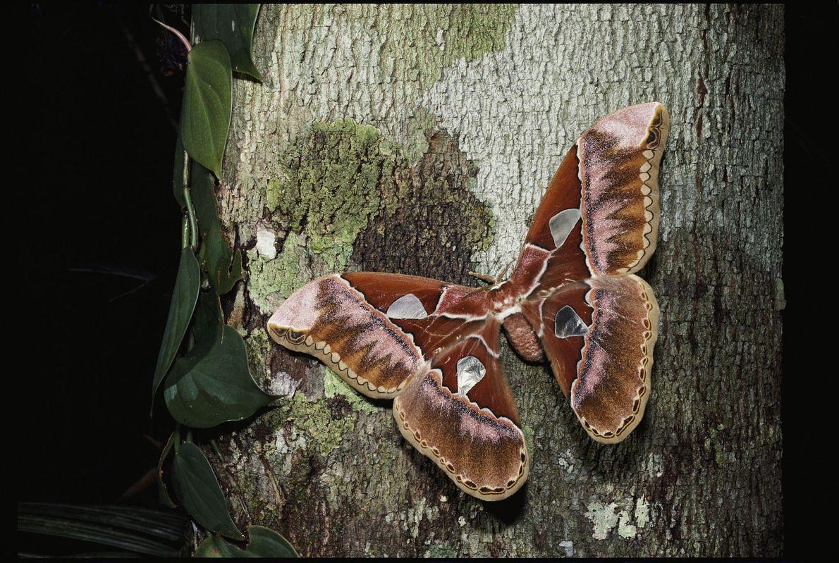 foto de mariposa-atlas