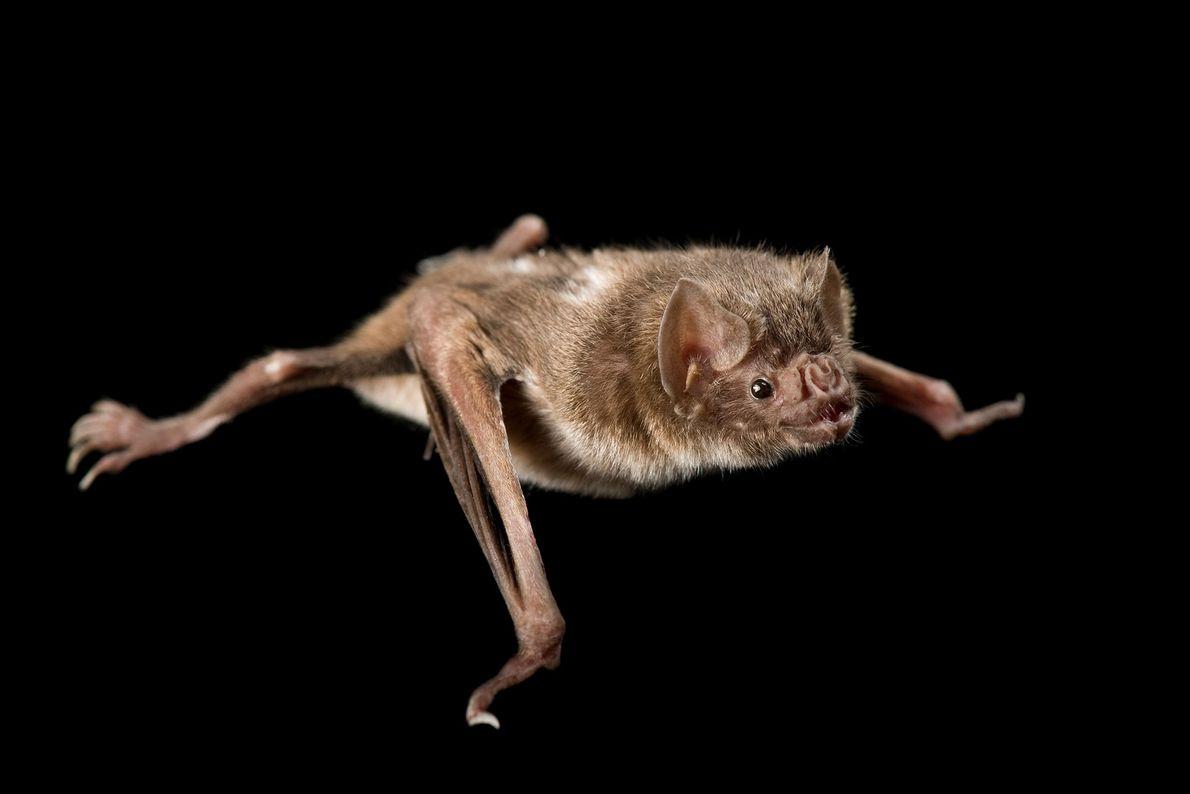 A common vampire bat (Desmodus rotundus) at the Buffalo Zoo
