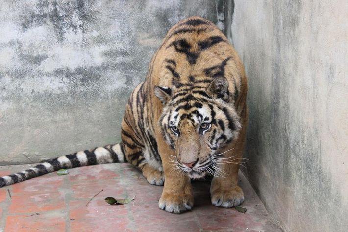 Investigadores da organização Educação pela Natureza - Vietnã tiraram esta foto de um tigre em uma ...