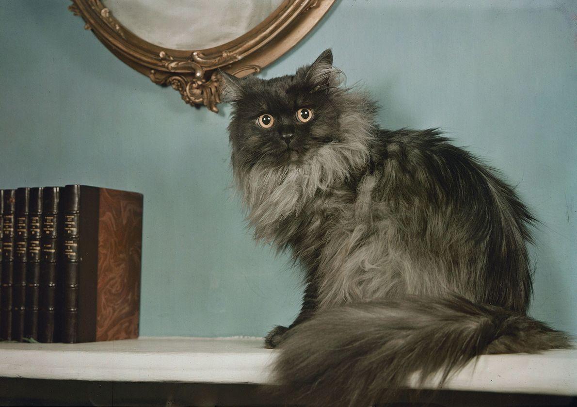 """""""Wary Princess Pat, com pelagem prateada e olhar hipnótico, parece pronta para saltar"""", escreveu Frederick Eddy ..."""