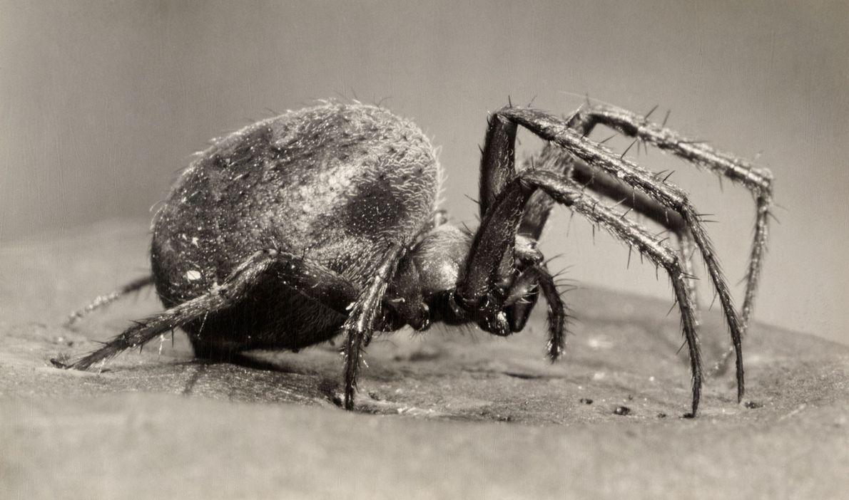 Há mais de 4 mil espécies de aranhas que tecem teias orbiculares encontradas no mundo inteiro, ...