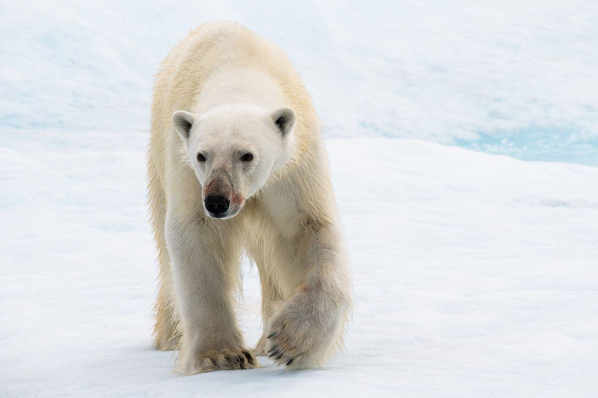 branco-urso-polar