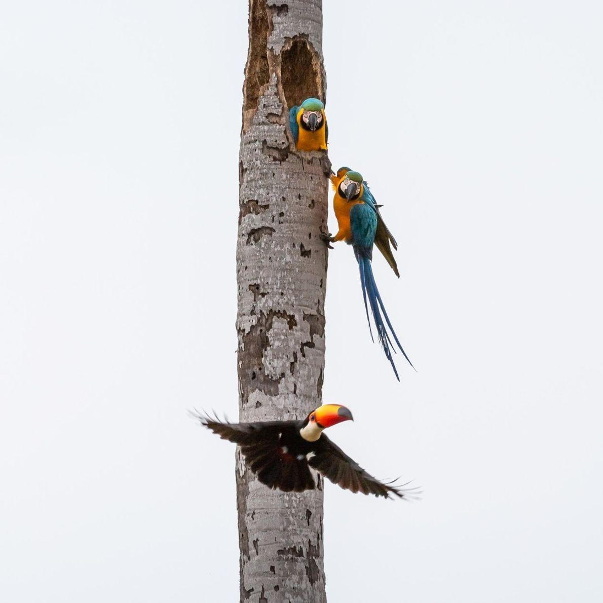 O tucano (Ramphastos toco) é uma ave predadora que ataca ninhos buscando ovos e filhotes. Estava ...
