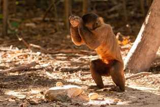 Para abrir as castanhas-de-caju, os macacos-prego manuseiam cascalhos arredondados com larguras variadas, desde cerca 2,5 centímetros ...