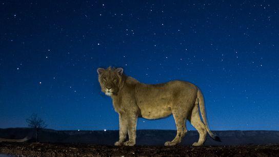 Provavelmente assustado pelo som do clique do obturador da câmera remota, um leão faz uma pausa ...
