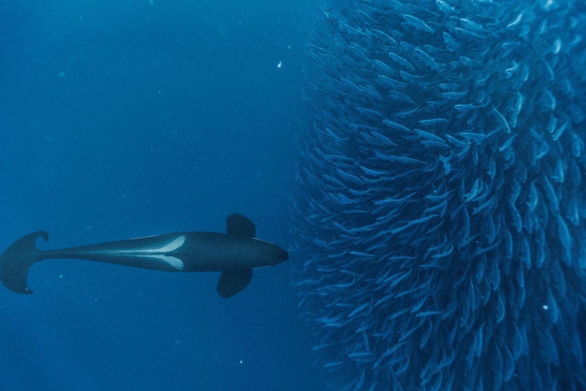 orca_baleia-assassina-noruega
