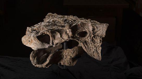 Temíveis pregos ósseos se projetam do crânio do Zuul crurivastator, um dos mais completos dinossauros encouraçados ...