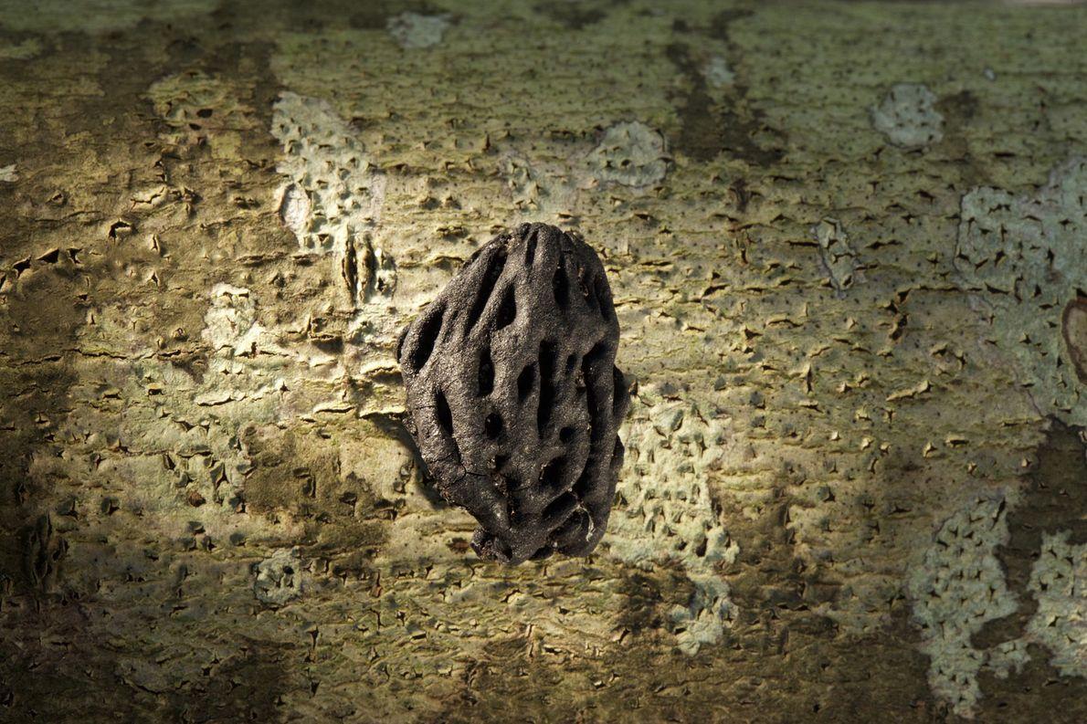 Um caroço de pêssego desenterrado em Cape Creek, na Ilha Hatteras, pode datar do século 16. ...