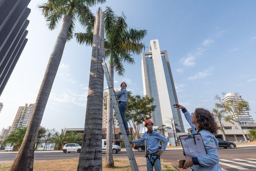 Em uma avenida movimentada de Campo Grande (MS), a pesquisadora Neiva Guedes orienta seus pesquisadores na coleta de dados sobre as araras-canindé. A espécie tem nidificado em palmeiras da cidade há cerca de duas décadas com a ajuda do Projeto Aves Urbanas, uma iniciativa do Instituto Arara-azul.