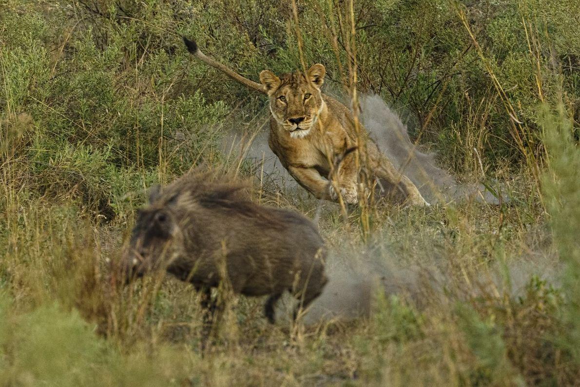 galeria-de-fotos-animais-em-acao-leoa-javali