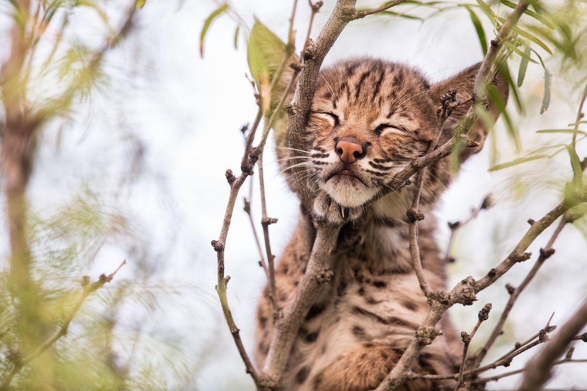 Após uma tarde de brincadeiras, os filhotes escalavam a árvore ao lado da varanda da frente ...