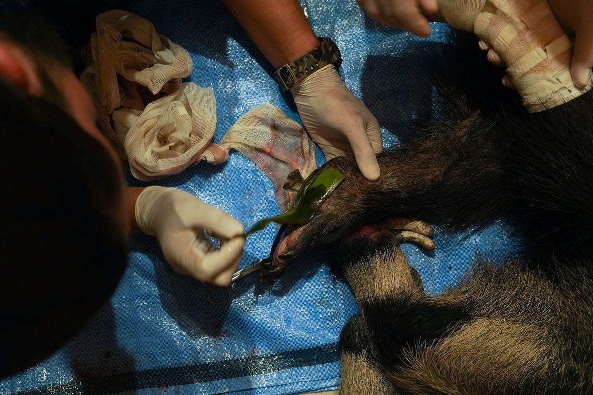 Veterinários do abrigo cuidam da tamanduá Valentina, cujas patas foram severamente queimadas. Aqui, eles aplicam pomada, ...