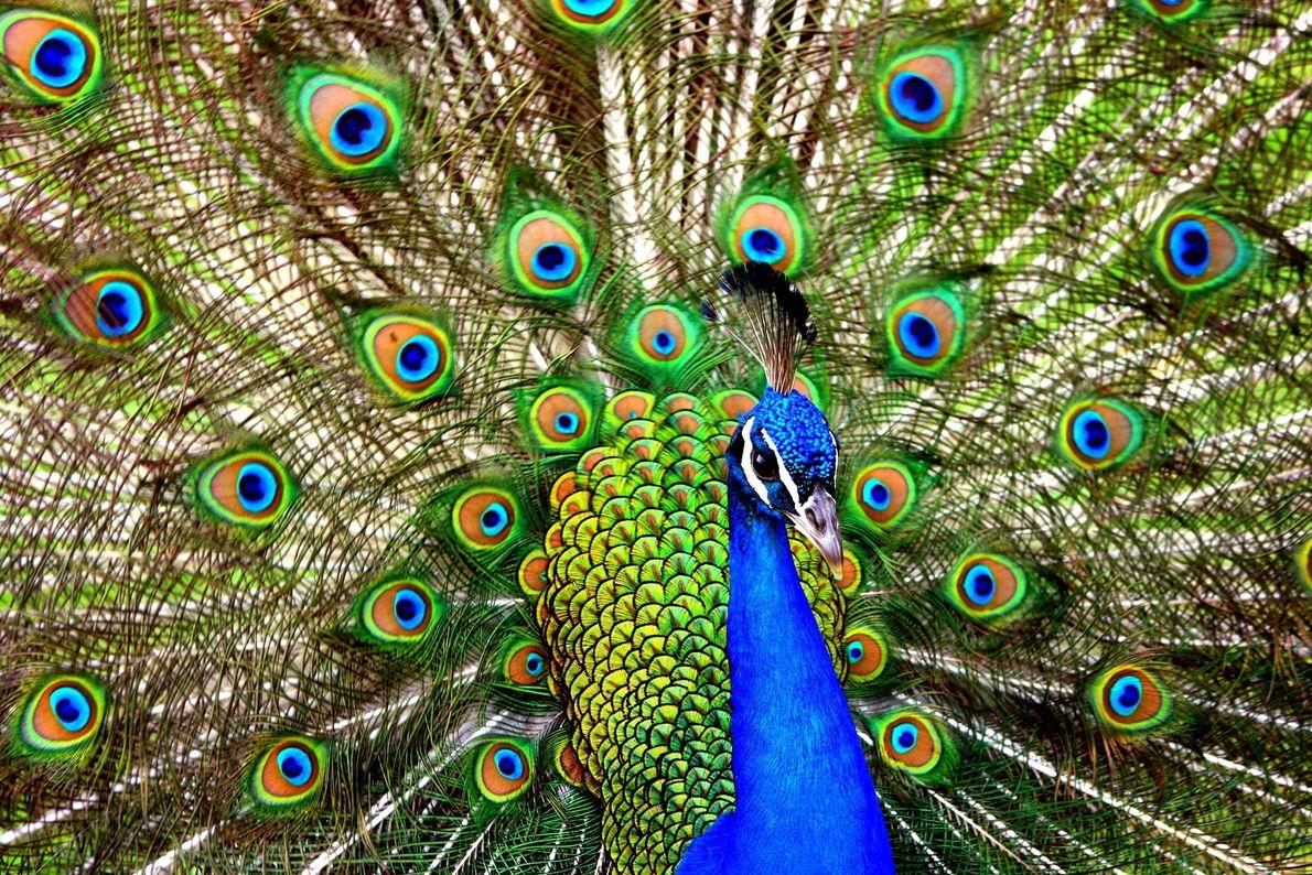 Peacock. Pasadena, California, United States